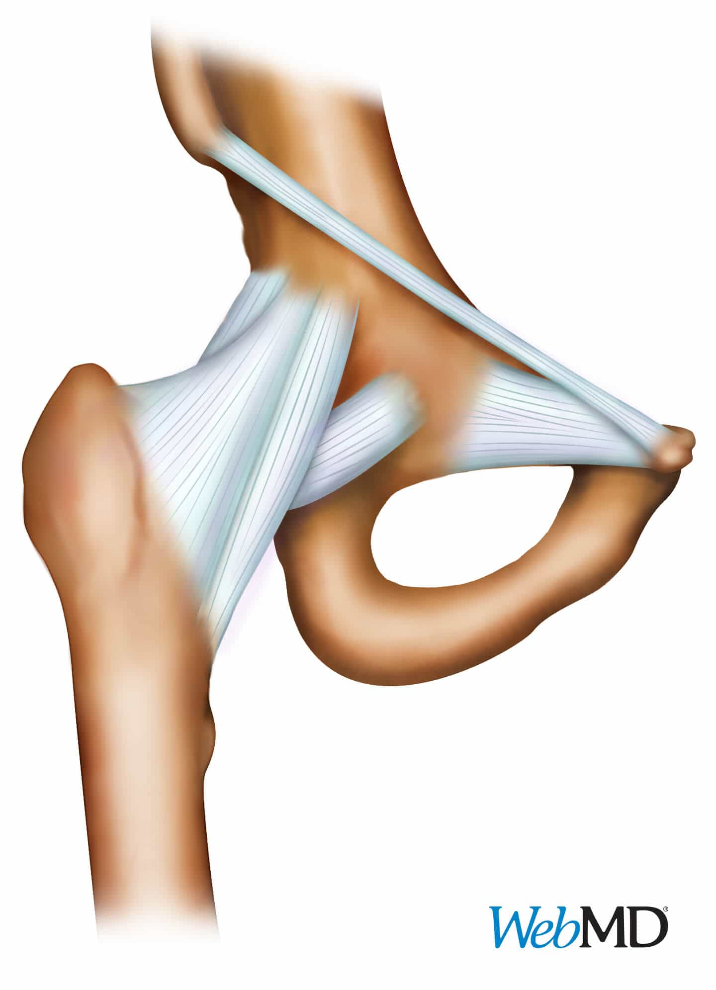 WebMD Illustrations - Hip Ligament