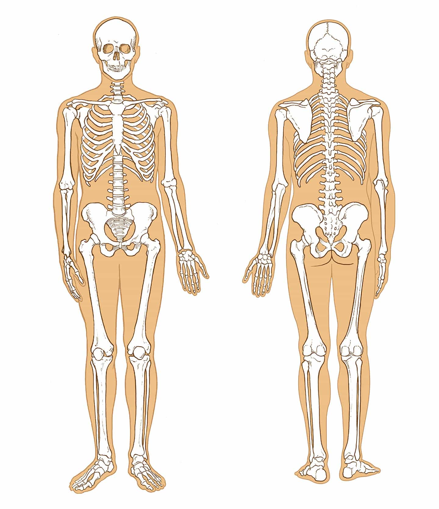 WebMD Illustrations - Skeletal